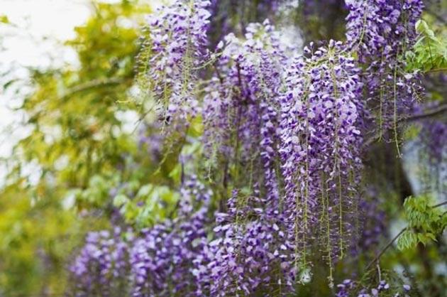 plantas trepadoras de jard n