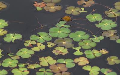 Plantas acuáticas: Trébol de 4 hojas