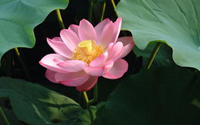 Plantas acuáticas: Flor de Loto